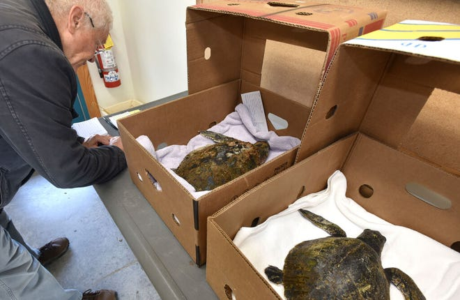 Robert Prescott, director of the sea turtle program at the Wellfleet Bay Wildlife Sanctuary, files paperwork on two Kemp's ridley turtles that stranded in Brewster in November 2019. This year has been among the busiest for turtle strandings on the Cape and Islands.