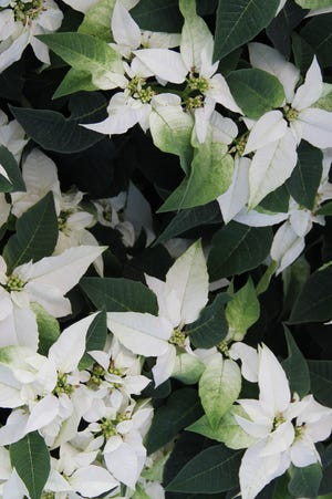 Pure White Princettia Poinsettia