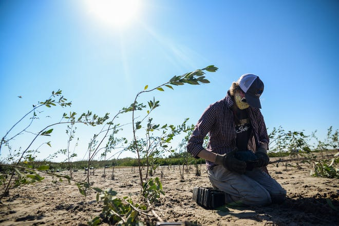 Nicholls State University graduate student Katie Gray pulls a black mangrove seedling from its plastic pot Nov. 13 during a volunteer planting on Queen Bess Island.