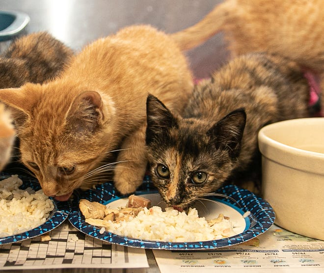 Kittens feast. [Bill Hand / Sun Journal Staff]