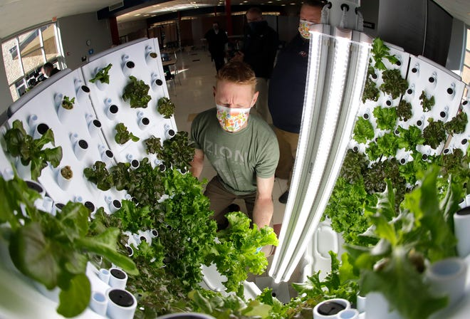 Science teacher Tom Wanamaker removes green leaf lettuce from one of numerous Flex Farms, which are vertical hydroponic farming systems used to grow fresh produce indoors at Appleton East High School on Monday, Nov. 23, 2020, in Appleton, Wis. Through a donation from East Wisconsin Savings Bank, Appleton East is one of several schools receiving the Flex Farms from a company in Green Bay called Fork Farms.