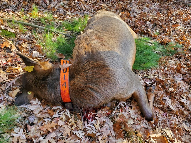 A cow elk lies dead in Jackson County after being illegally shot by a hunter during the  gun deer season. The hunter, who reported the violation, reportedly mistook the elk for a white-tailed deer.