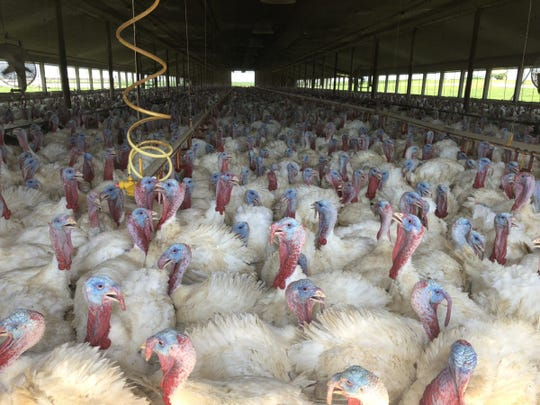 South Dakota is a significant producer of Broad Breasted White turkeys, by far the most common table-fare turkey in the U.S. White turkeys are mostly grown in large indoor barns on Hutterite colonies, such as this barn on the Oaklane Colony in Hanson County.
