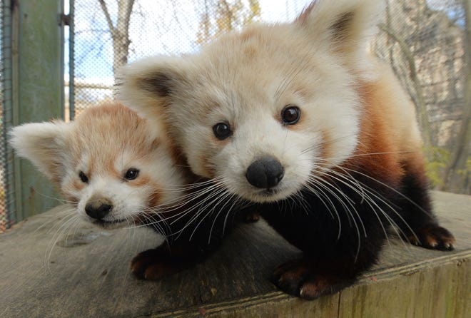Erie Zoo baby red pandas Neo, left, and Joe, both males, hang out in their enclosure on Saturday.