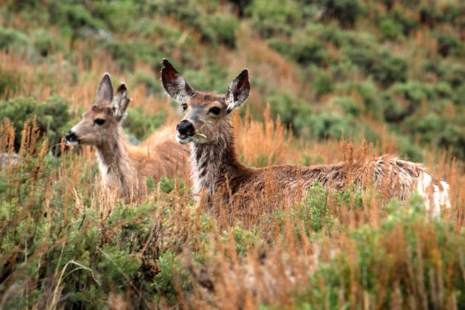 """In this photo provided by the Wyoming Migration Initiative, a doe and her yearling fawn """"surf the green wave"""" of spring vegetation emerging along the foothills of the Wind River Range in the Hoback Migration Corridor near Pinedale, Wyo., on May 18, 2018."""