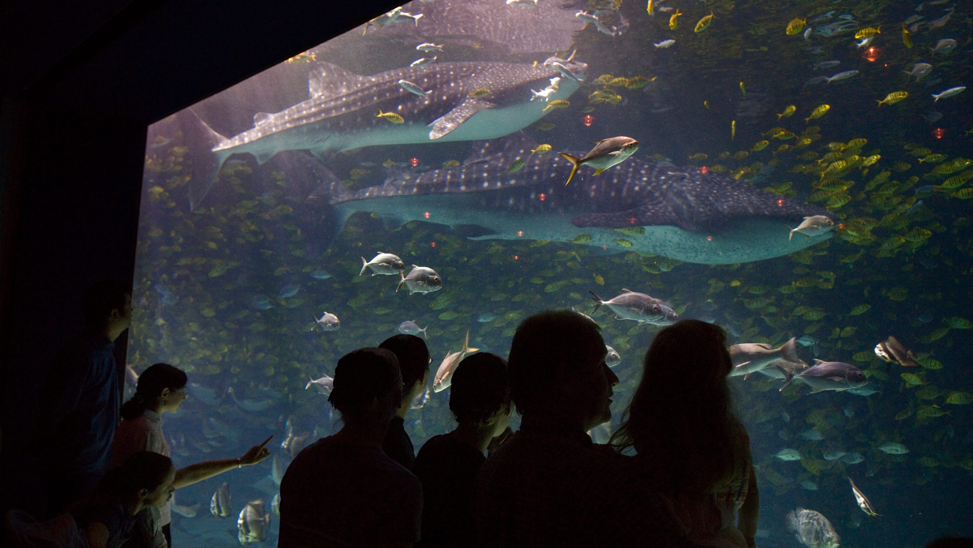 Trixie, Georgia Aquarium's largest female whale shark dies ...
