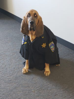 Addy, a bloodhound with the Ontario County Sheriff's K-9 Unit, shows off her badge.