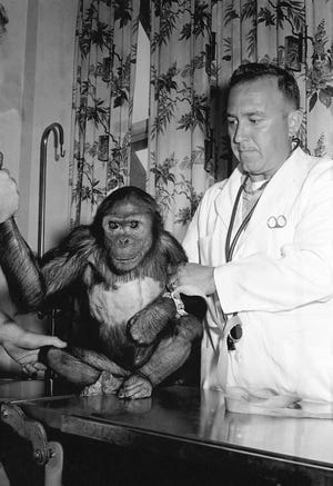 Enos, the chimpanzee that traveled around the world twice in outer space, is shown at Kindley Air Force Base in Bermuda on Nov. 30, 1961, after his flight and during a physical examination.