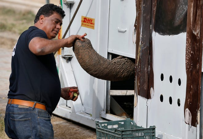 Dr. Amir Khalil, a veterinarian from the international animal welfare organization Four Paws, feeds an elephant named Kaavan who is loaded in a crate for transporting him to a sanctuary in Cambodia, at the Marghazar Zoo in Islamabad, Pakistan, Sunday.