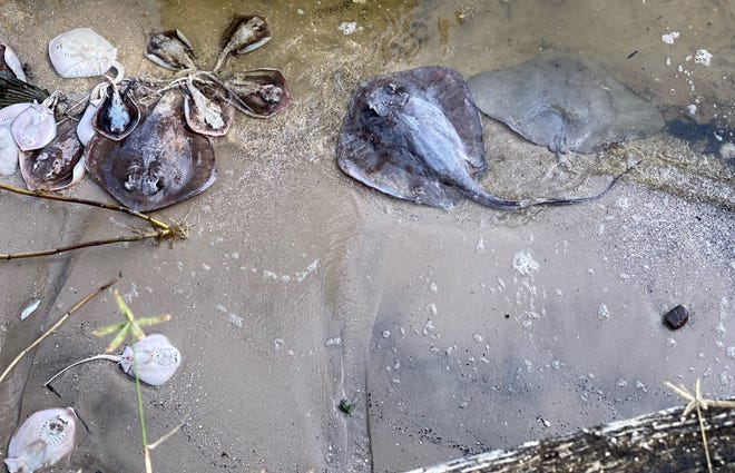 Cocoa resident Barbara Williams took this photo of dead stingrays washed ashore Sunday morning alongside her dock.