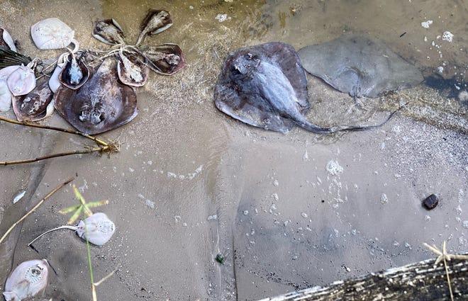 Cocoa, Florida, resident Barbara Williams took this photo of dead stingrays washed ashore Sunday morning alongside her dock.