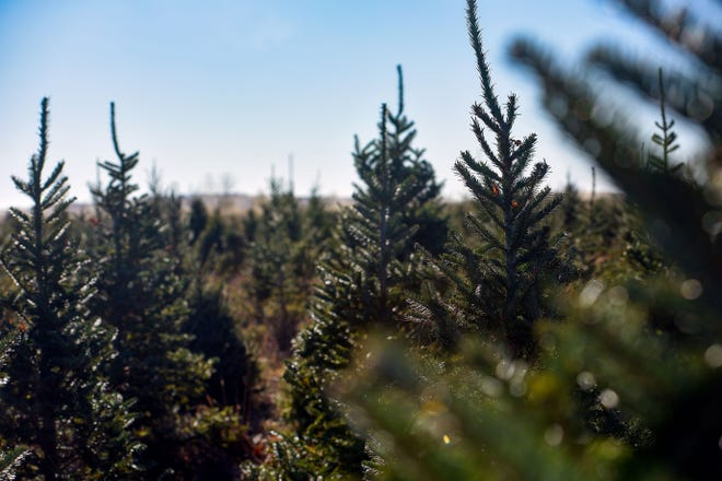 Sun shines on pine trees on Saturday, November 28, Riverview Christmas Tree Farm in Canton.