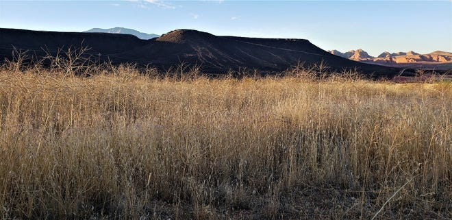 Thick fields of invasive Sahara mustard and cheatgrass wait like tinder in front of the blackened Mustang Mesa in the Red Cliffs Desert Reserve/National Conservation Area following the Turkey Farm Road Fire.