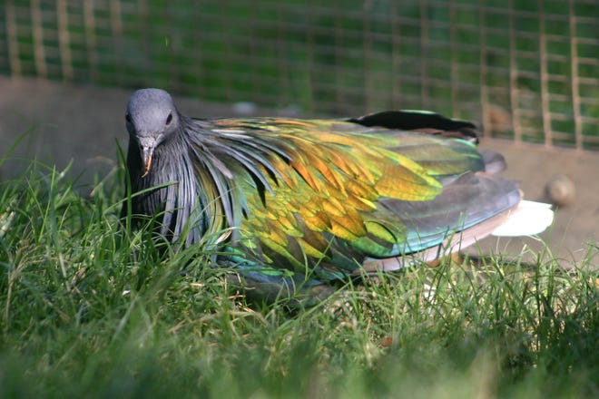 A Nicobara Pigeon was stolen from the Fresno Chaffee Zoo Sunday morning.
