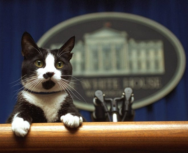 The Clinton cat Socks peers over the podium in the White House briefing room in 1994
