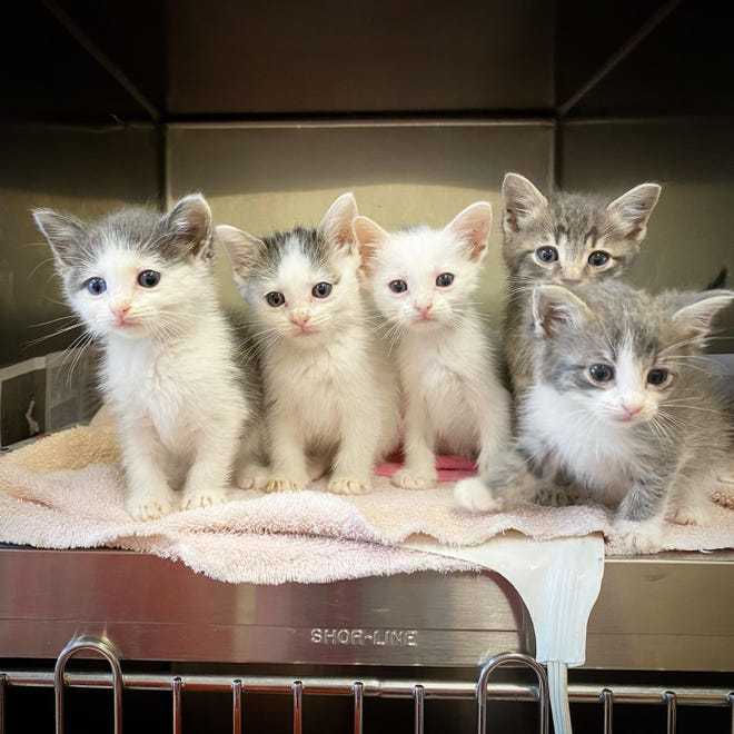 A recent litter of kittens at the Ardmore Animal Shelter that were in need of a foster home. The successful foster care and animal transport programs have helped drop the euthanasia rate to 2% during the month of October.