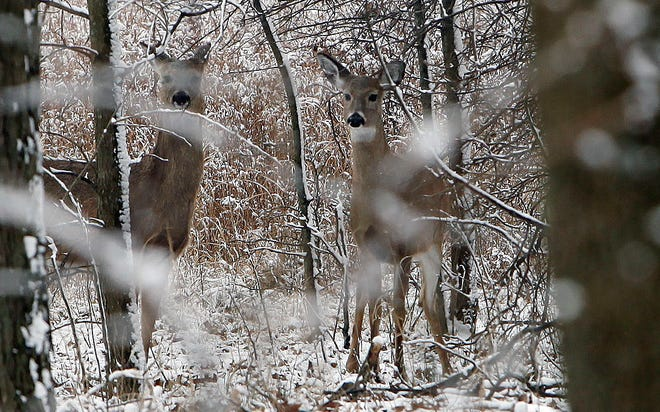White-tailed deer are spotted near the Red Oak trail at Glacier Ridge Metro Park in Plain City, February 8, 2012.