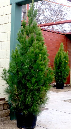 Container-grown Afghan pines, Pinus eldarica, make excellent living Christmas trees that establish well in xeriphytic landscapes.