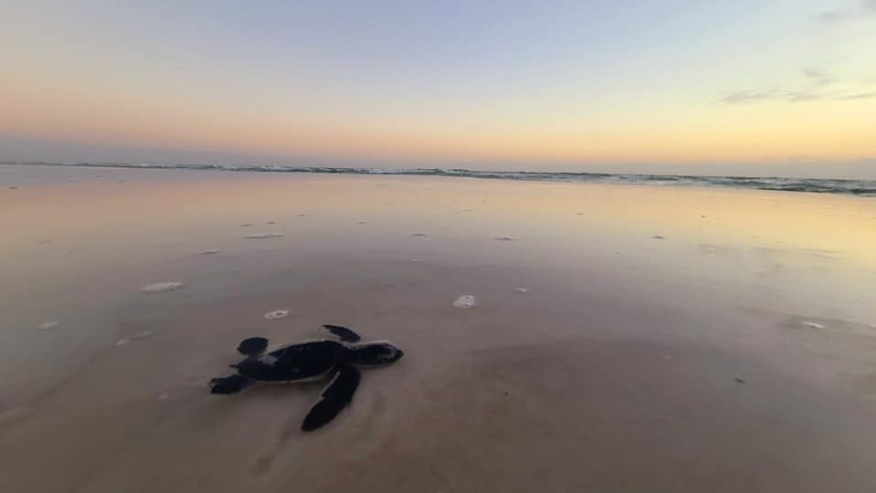 Megan Hunt and her family helped the loggerhead hatchling get to the Gulf of Mexico.