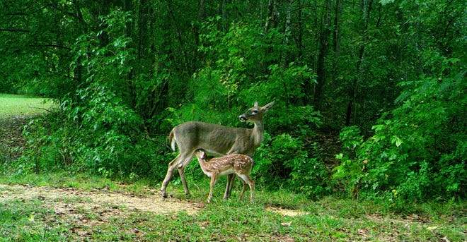 Oscar enjoys feeding the wildlife on our acreage. Several months ago, a doe came down to eat from our deer feeder, and while she was there, her fawn decided to nurse — and our motion camera captured the event.