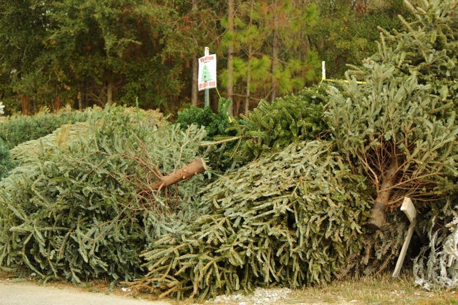 Live Christmas trees can also have a second life. After removing all lights, wire, hooks, ornaments and tinsel they can be recycled locally.