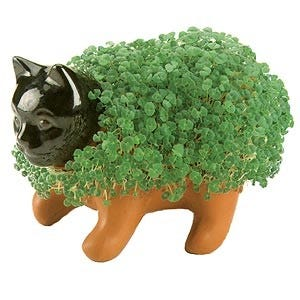 """The ever-present holiday gift, Chia pet, is made possible by an herb, Salvia hispanica, which is native to Central America. The mucilage the seeds produce when they take up water is the """"glue"""" that holds the seeds to the ceramic figures made famous by Joseph Enterprises and the song """"Cha, cha, cha…Chia!"""""""