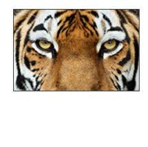 May tigers