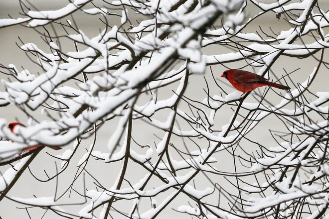 A pair of cardinals sit in a snow-covered tree near Webster Park in Clintonville earlier this month when Columbus saw just under three inches of snow.