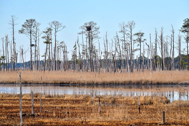 This photo provided by the University of Maryland shows invading saltwater and its effect on trees from the roots up. The last to succumb at the Blackwater National Wildlife Refuge on Maryland's Eastern Shore are the loblolly pines.