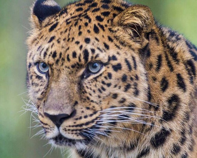 Rare Amur Leopard Dies At Jacksonville Zoo And Gardens