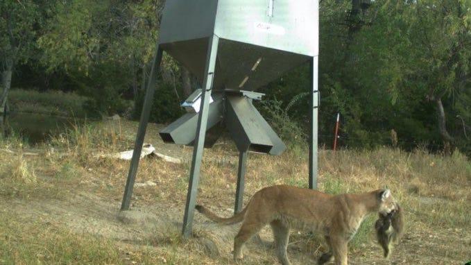 Wildlife officials in Kansas consider  cougar
