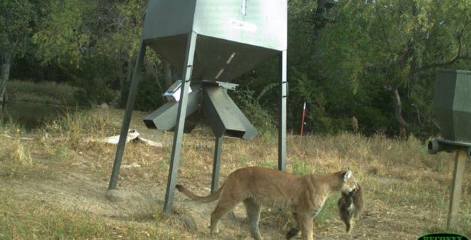The Kansas Department of Wildlife, Parks and Tourism on Sunday posted on its Facebook page this trail camera photo showing an adult mountain lion carrying a recently killed porcupine. The photo was taken in Kiowa County.