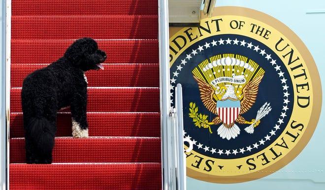 File foto 4 Agustus 2010 ini menunjukkan hewan peliharaan presiden Bo menaiki tangga Air Force One di Pangkalan Angkatan Udara Andrews, Md. Untuk penerbangan ke Chicago bersama Presiden Barack Obama.