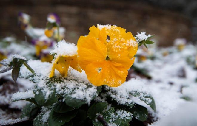 Snow fell on pansies as snow showers covered Nashville, Tenn. Monday, Nov. 30, 2020.