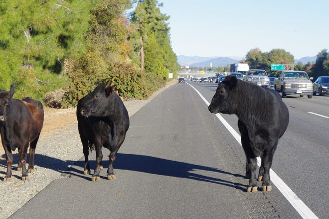 A small herd of four cattle got loose and ran along Interstate 5 in Redding on Tuesday before California Highway Patrol officers rounded them up in a nearby field.