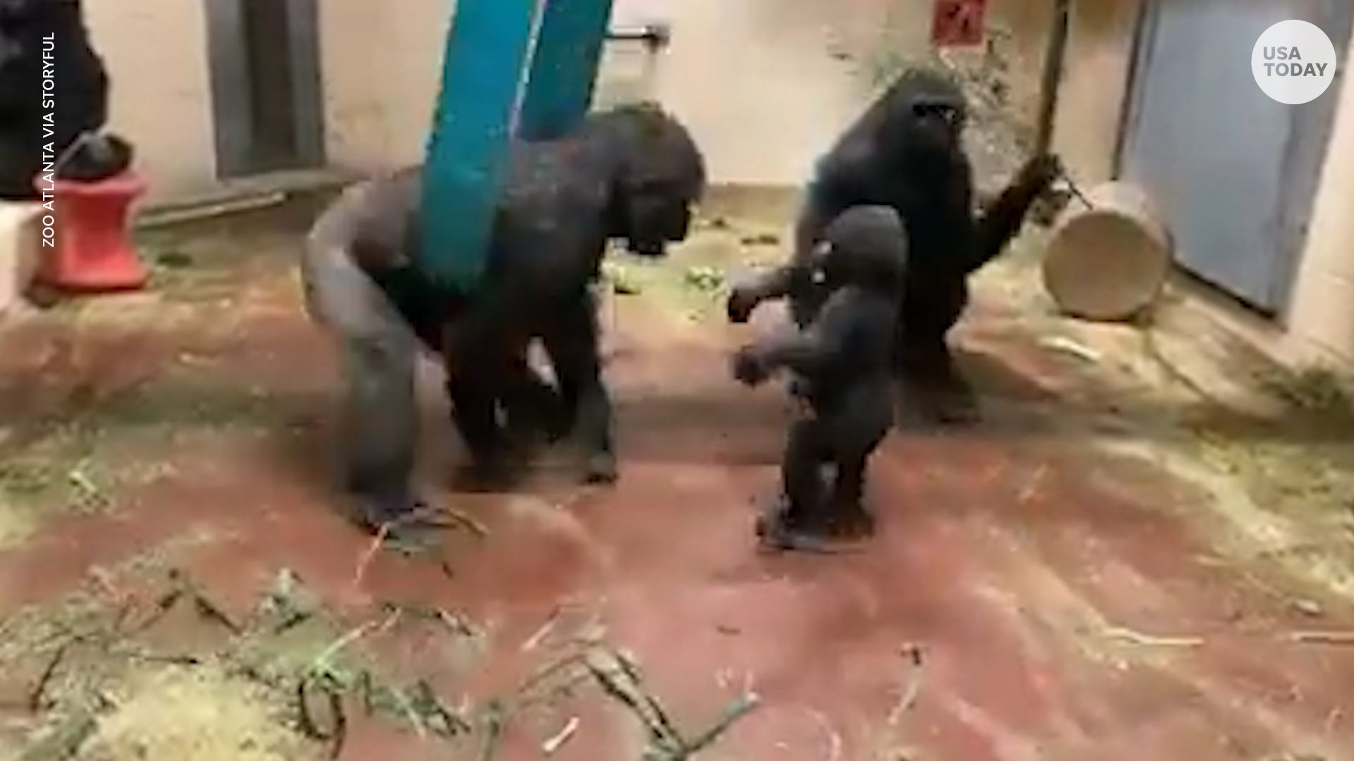 Family of gorillas are having the best time monkeying around during playtime