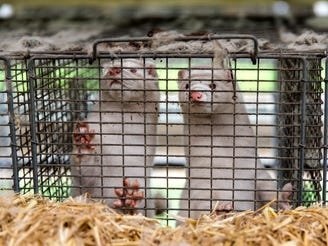 Minks at farmer Stig Sørensen's estate where all minks must be culled due to a government order on November 7, 2020 in Bording, Denmark.