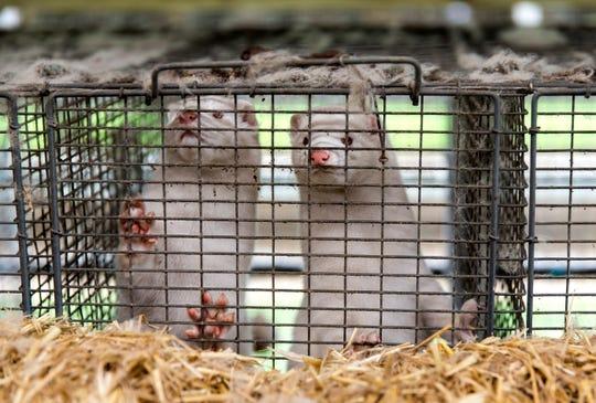 Minks at farmer Stig Sørensen's estate where all minks must be culled due to a government order on November 7, 2020 in Bording, Denmark.