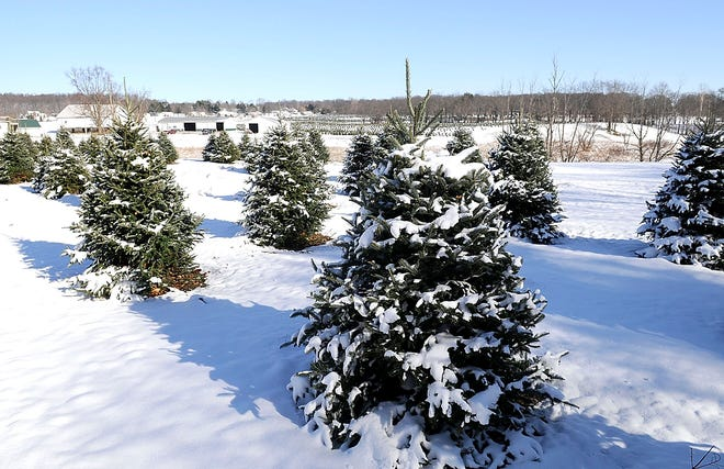 Sugargrove Tree Farm on Township Road 1455 in Ashland opened for Christmas tree sales on Nov. 27.