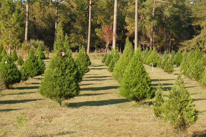 For the freshest cut Christmas tree, you may decide to harvest a Florida-grown tree from one of the Christmas tree farms in Northeast Florida.