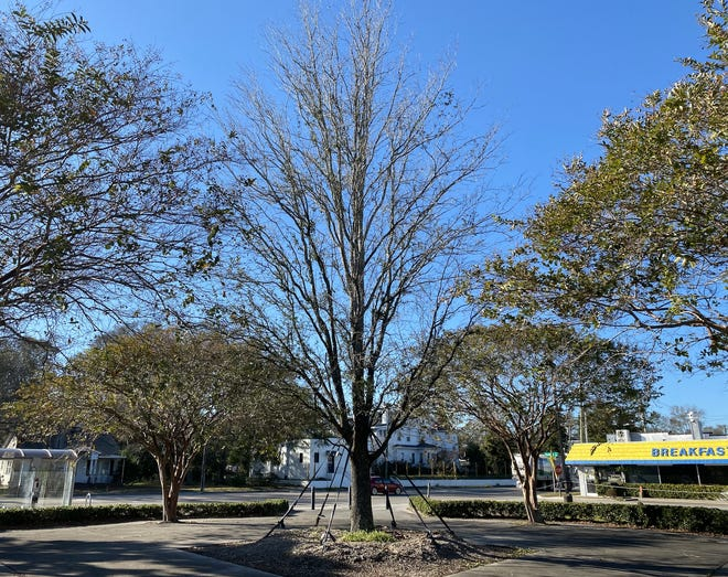 The new Largest Living Christmas Tree in Wilmington is located at Legion Stadium and hopes to reclaim the holiday significance of the original World's Largest Living Christmas Tree when it is lit in 2021.