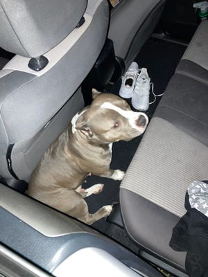 Roslyn the pitbull, shortly after she was held for $25,000 ransom in November.