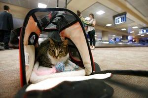 Pada tanggal 20 September 2017 ini, file foto Oscar si kucing, yang bukan hewan pemandu, duduk di dalam tas travelnya setelah tiba di Bandara Internasional Phoenix Sky Harbor di Phoenix.