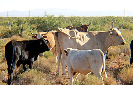 New Mexico State University is studying the impact of breeding heritage Raramuri Criollo cows with commercial beef bulls see if the crossbreed calves will be more marketable for the beef industry. The resulting crossbreed calves appear to be larger than the Raramuri Criollo calf.
