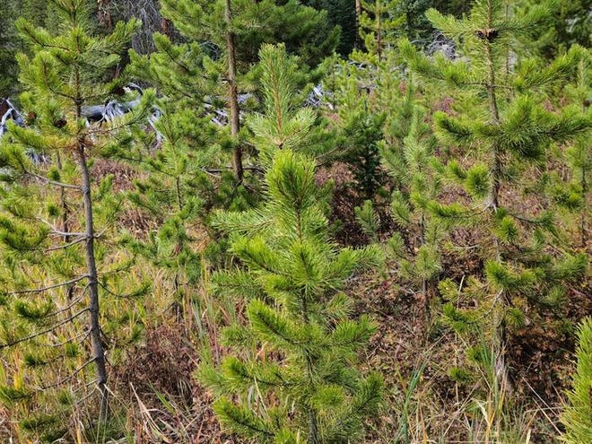 Those looking for Christmas trees this year have to look no farther than the Black Hills National Forest, where individuals can purchase Christmas tree permits for $10.
