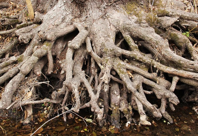 Roots anchor trees to the earth but are invisible in most cases unless a windstorm uproots the entire tree or stream erosion exposes them. Roots also anchor us to a place where we live and work. They give our life stability. Contact Carl Kurtz at cpkurtz@netins.net.