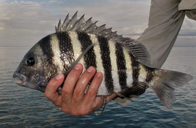 Cooler weather has really turned on the sheepshead bite for Tampa Bay Area anglers. Fiddler crabs and shrimp fished around area bridges, docks, structure and reefs inside the bay will provide the best action.