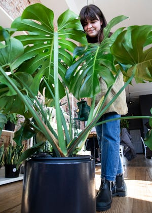 Gracie Joosse from Lady Basil waters one of her larger plants located inside Paper City Coffee Shop on Paint Street.