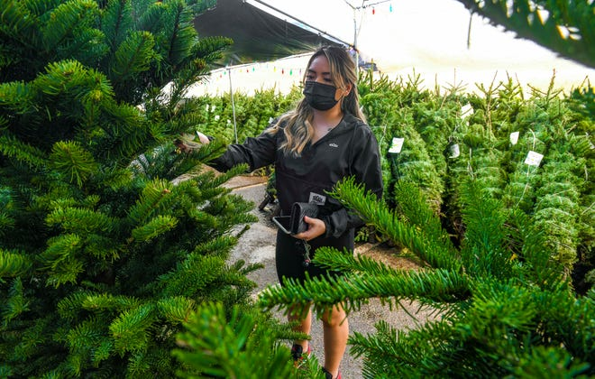 Aeriel Tolentino searches for the perfect Christmas tree as she browses through the strands of fresh conifers available at the tree lot of the Home Depot store in Tamuning on Thursday, Dec. 3, 2020. Tolentino was looking for a tree to decorate the Kreem X Butter barbershop in Dededo for the holidays.
