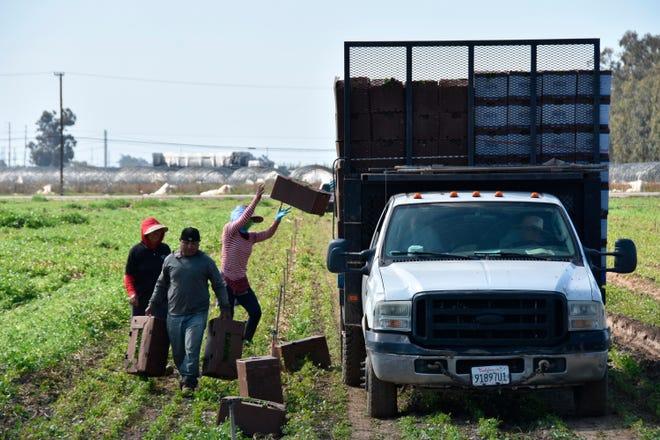 Fotografía donde aparecen unas personas mientras trabajan en un cultivo de cilantro, en Oxnard, California.